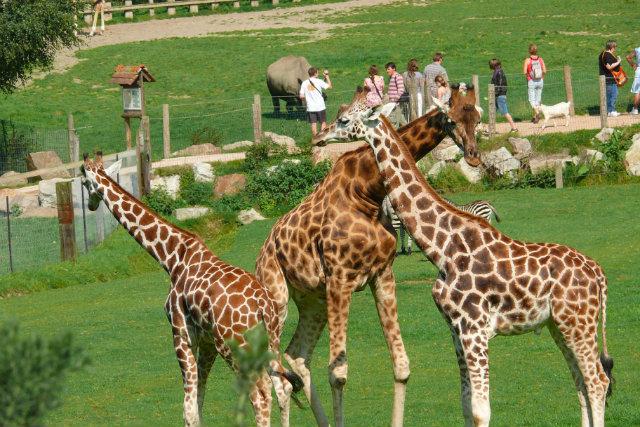 hermivallesvaux-paysdauge-animaux-zoo-girafe081057-CALVADOS-TOURISME-libre